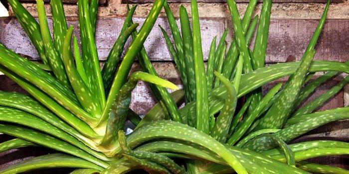 Aloes i jego lecznicze działanie