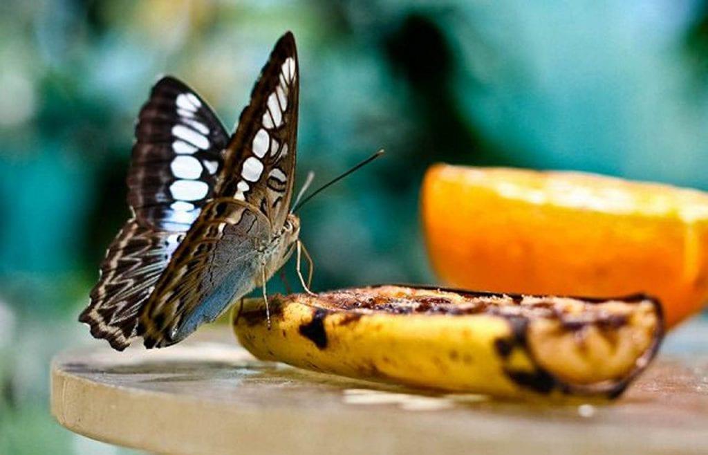 skórka banana zwabia motyle