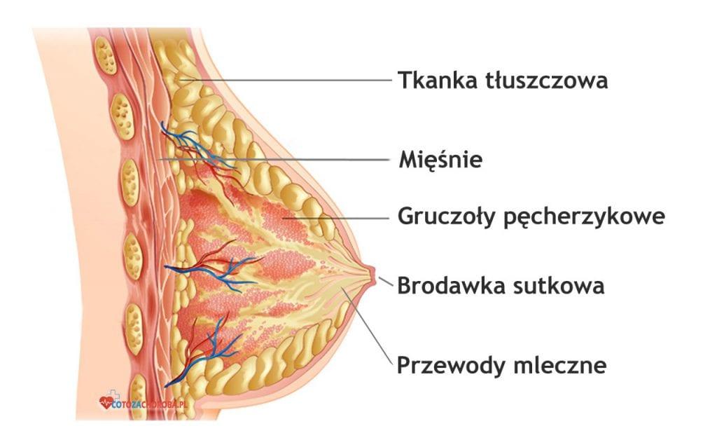 Budowa piersi