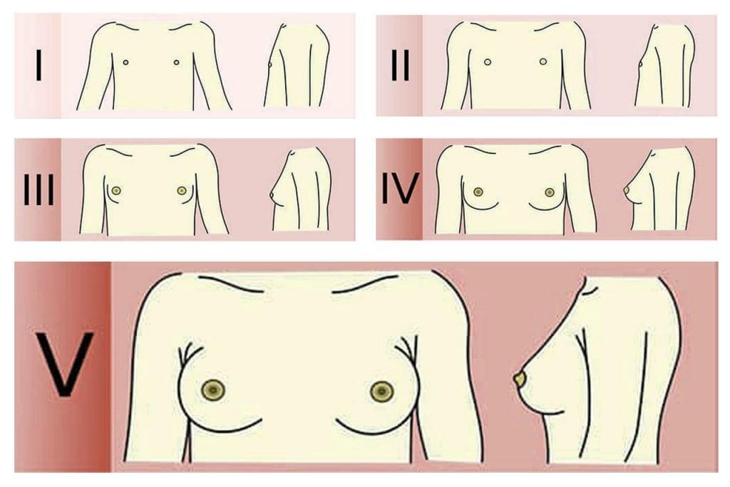 Etapy rozwoju piersi