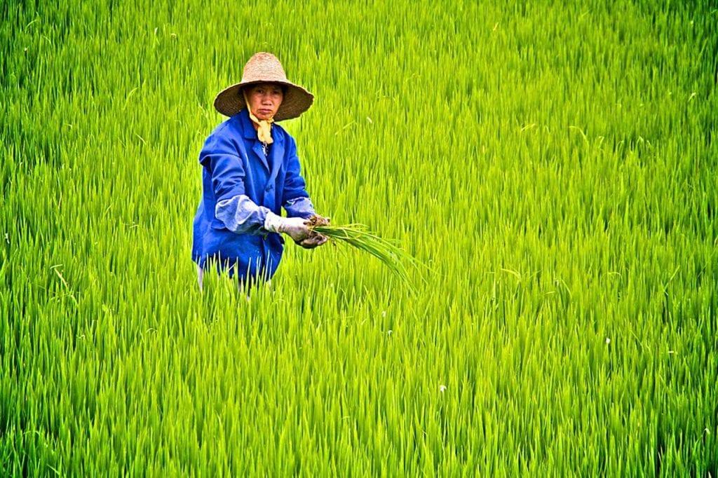 Skąd pochodzi ryż