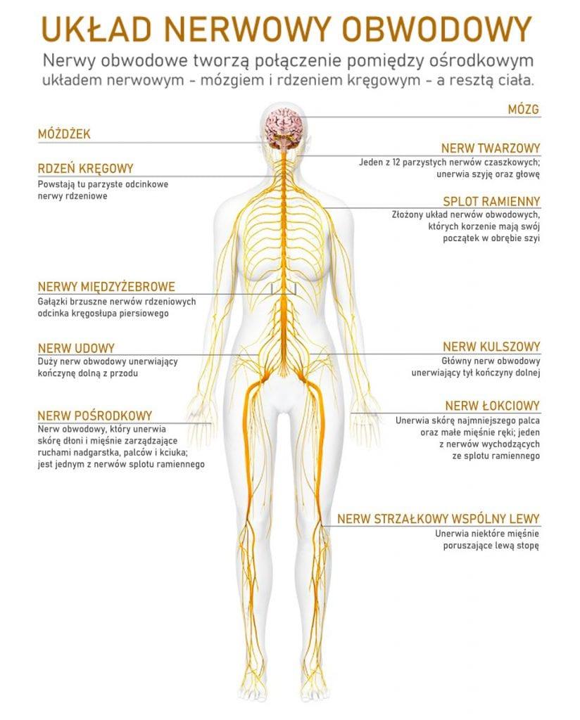 Układ nerwowy obwodowy