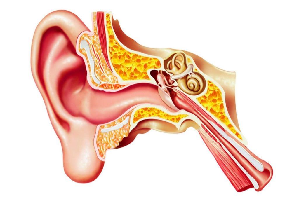 Przekrój ucha