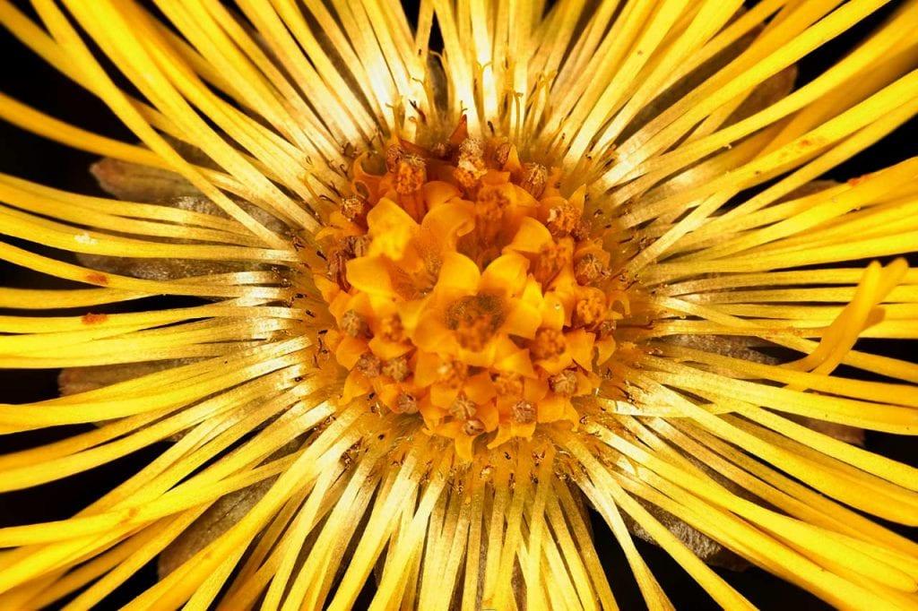 Działanie lecznicze kwiatów i liści podbiału