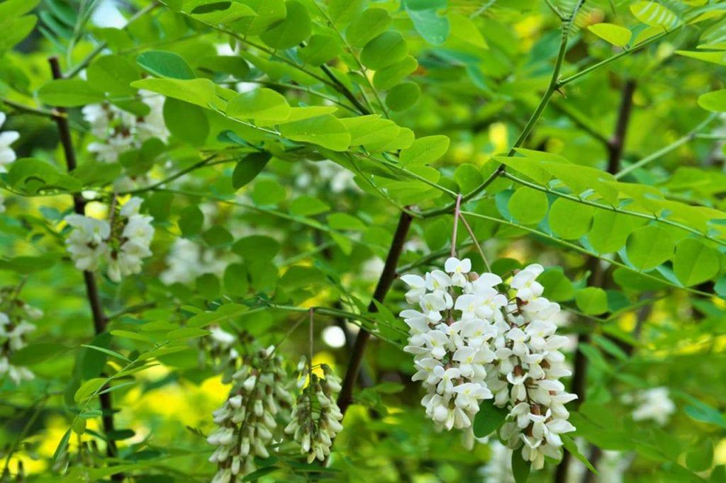 Robinia akacjowa – zastosowanie w leczeniu chorób