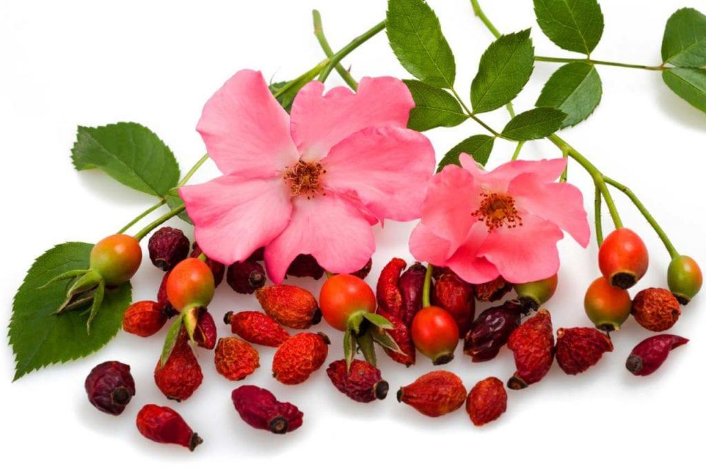 Właściwości lecznicze dzikiej róży