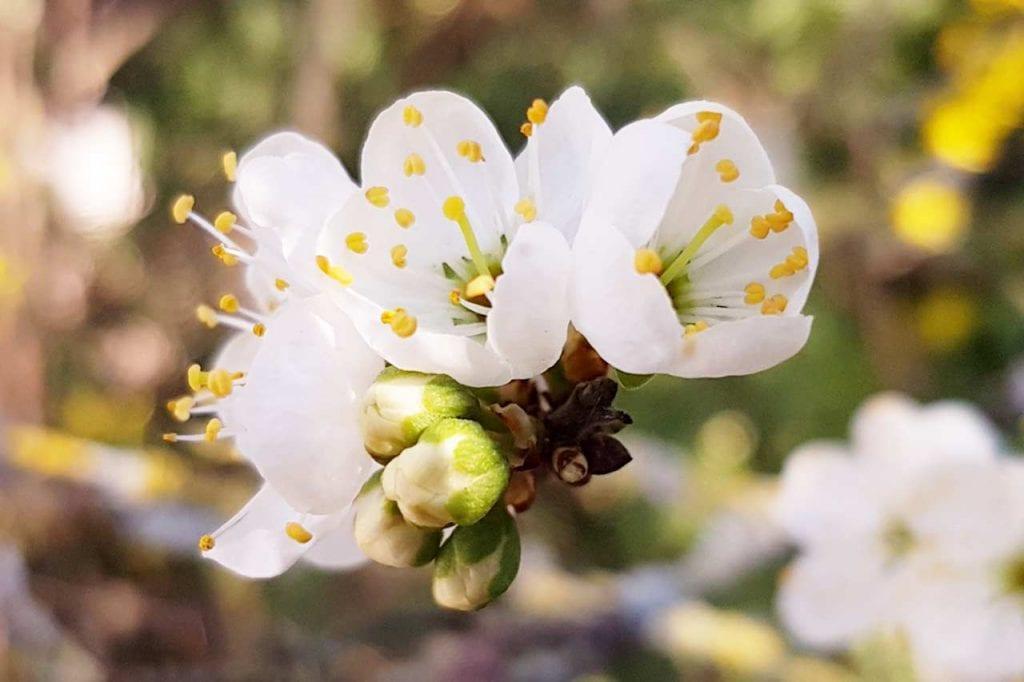 Kiedy i jak zbierać kwiaty i owoce tarniny?