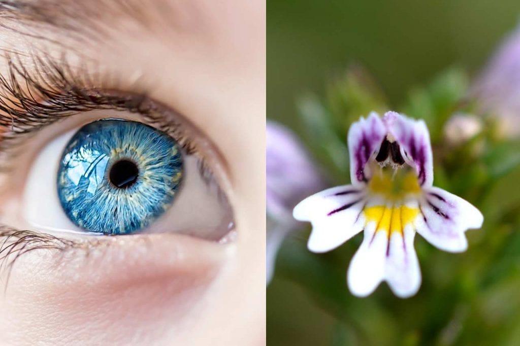 Zastosowanie świetlika łąkowego w stanach zapalnych oczu